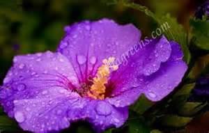 Different Types Of Purple hibiscus varieties santhagreens