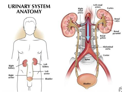 diagram of urinary system urinary system anatomical structure and location in human