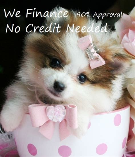 how much are teacup dogs cuteness kills 4 compelling reasons to stop supporting teacup dogs viralpawz