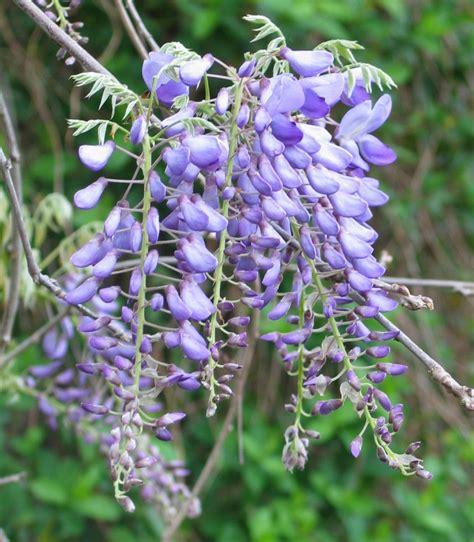 twice bloomed wisteria wisteria
