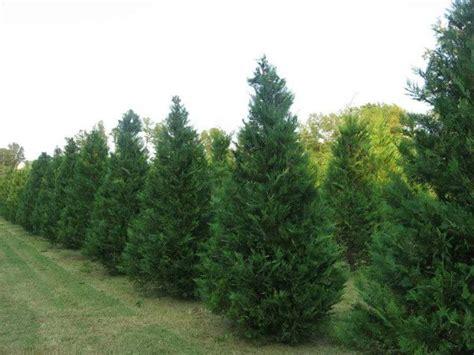 duncan fir tree duncan tree farm tennessee tree growers