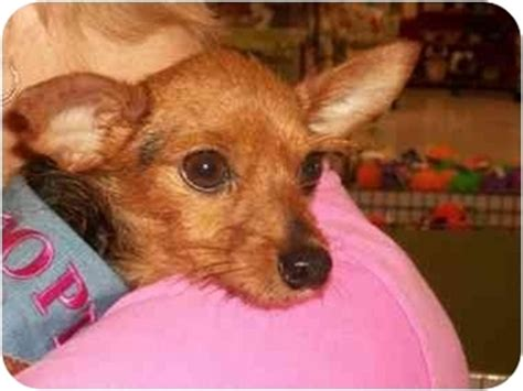 miniature pinscher yorkie yorkie pin terrier miniature pinscher hybrid dogs yorkie breeds picture