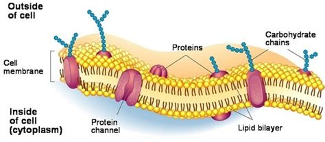 cell membrane composed  quora