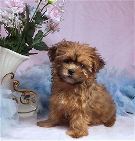 yorkie breeders in washington state shorkie puppies for sale in washington shorkies for sale