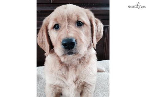 golden retriever breeders kansas city golden retriever puppy for sale near kansas city missouri 66323bde 7681