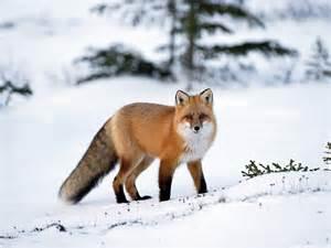 Fox animal wallpapers hd wallpapers fox animal wallpapers hd