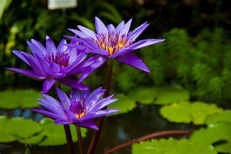 purple lotus purple lotus flower flower hd wallpapers images