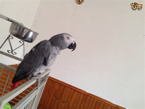 african grey parrot birds for sale north north carolina