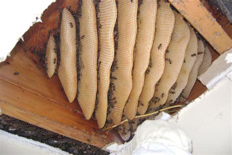 the nesting house honey bee nest in house