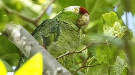 wallpaper of green parrot download wallpaper 1366x768 amazon birds green parrot hd