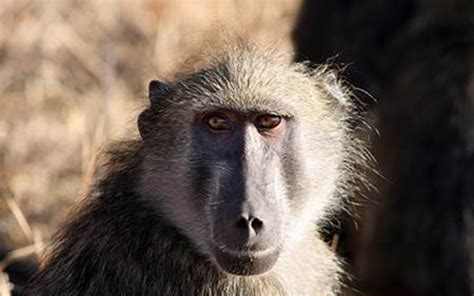 missing   shot baboons  south africa