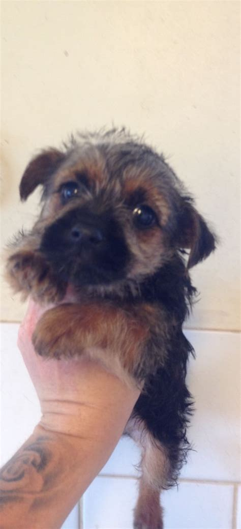 jorkie puppies lovely jorkie puppies yorkie x manchester greater manchester pets4homes