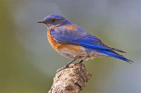 western bluebird birds copyrightfreephotos hq101 com