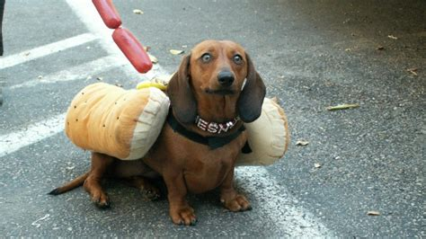 house of weenies hot dogs 10 wiener dogs dressed as wieners for hot dog day rover blog