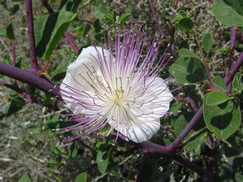 fior di cappero fiore cappero fiori delle piante il cappero e il