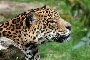 How Many Jaguars Are There In The World Animal Galleries Pictures Of Animals From Around The