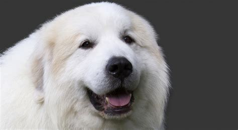 great pyrenees puppy great pyrenees breed information american kennel club