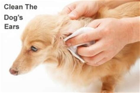 10 best home remedies for ear mites in dogs