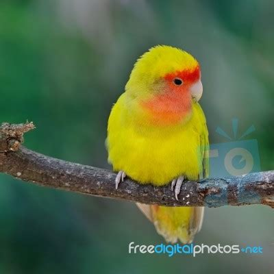 lovebird stock photo royalty free image id 100256848