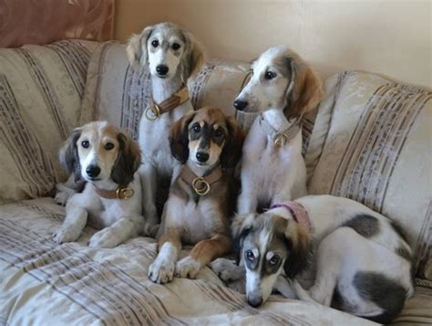 pics of puppys 45 pictures of saluki with puppies clicks that will make you fall in