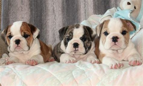 bulldog puppies for sale in indiana puppies for sale in indiana petsale inc