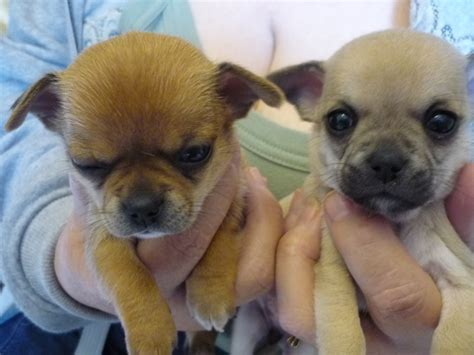 chihuahua puppies for sale in chihuahua puppies for sale kc reg carlisle cumbria pets4homes