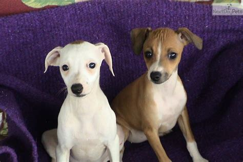 greyhound puppies for sale near me akc ig puppies italian greyhound puppy for sale near greenville upstate