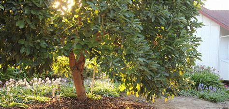 what to do with your tree learn how to grow your own avocado tree from seed