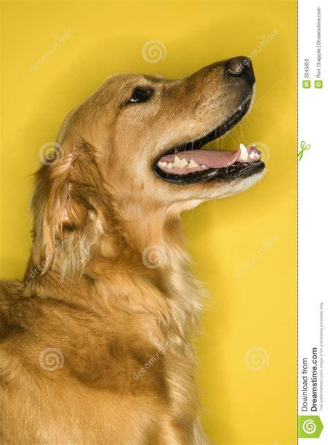 golden retriever profile golden retriever profile stock photos image 2045853