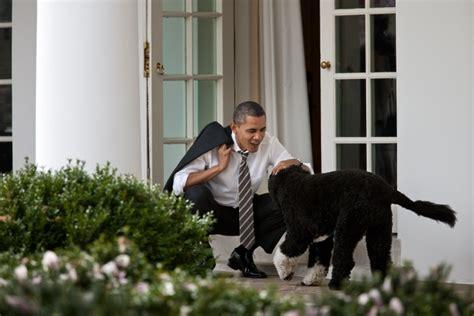 bo dog white house file president barack obama pets bo the obama family dog after returning to the