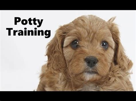 how to potty a grown almost fully grown cavapoo s in the garden funnydog tv