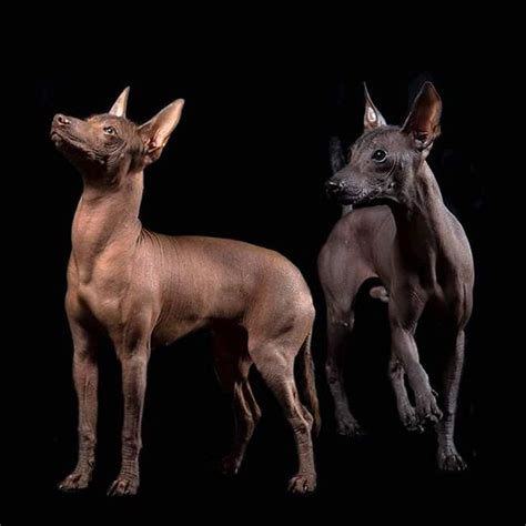 mexican breeds the ancient mayan colima and aztec peoples revered the xolos for their supposed