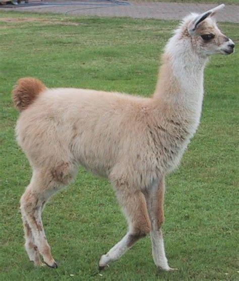 imagenes de animales llamas picture 5 of 10 llama lama glama pictures images