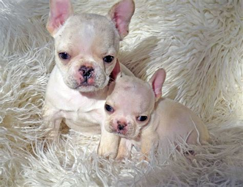 mini bulldog puppies for sale bulldog puppies for sale from reputable breeders autos post