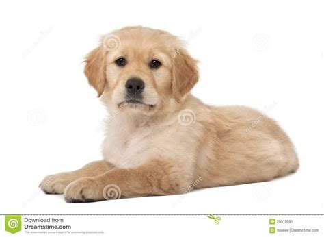 golden retriever puppies 7 months golden retriever puppy 2 months lying stock image image 25518591