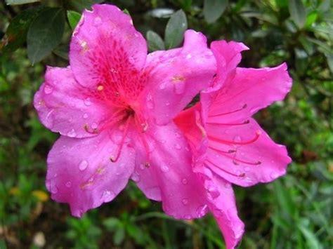 azalea da giardino azalea azalea piante da giardino caratteristiche