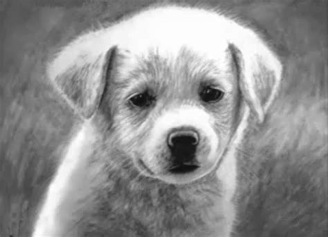 drawing of a golden retriever how to draw a golden retriever puppy drawing