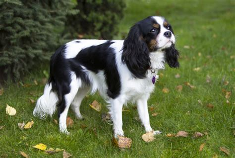 companion breeds 10 best companion breeds iheartdogs