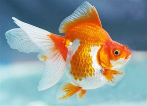 Pakan Ikan Koki Selain Pelet 19 jenis jenis ikan koki penjelasan lengkap dan gambarnya