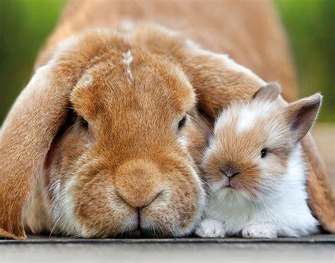 alimentazione coniglio nano ariete coniglio ariete nano le caratteristiche velvet pets italia
