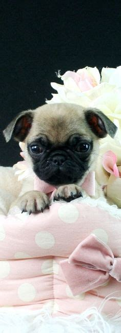 pug breeders san antonio pug puppies for sale in san antonio zoe fans baby animals