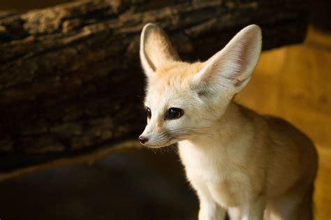fennec fox fonds decran arrieres plan  id