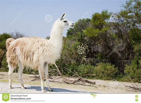 white lama the white lama stock photo image 14436810