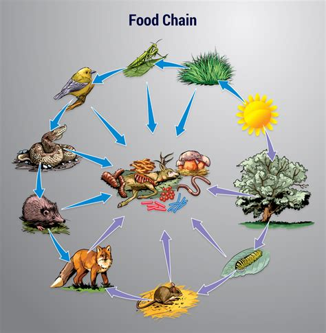 Chaign County Search Best 28 The True Food Chain Visual Forest Ecosystem Food Chain Search