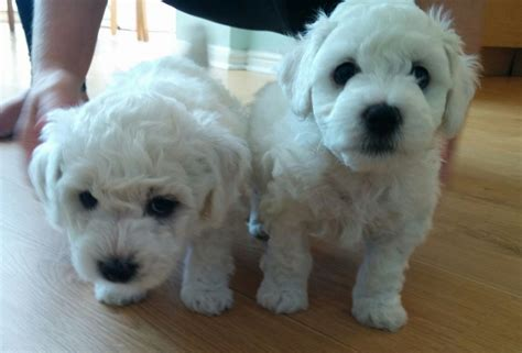 puppy club bichon frise puppies kennel club registered wickford essex pets4homes