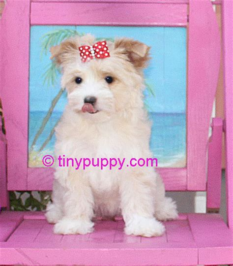 gold dust yorkies for sale gold dust yorkie goldilocks tinypuppy