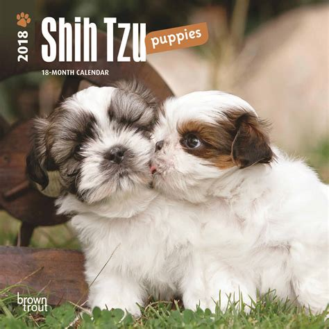 shih tzu club uk shih tzu mini calendar 2018 calendar club uk