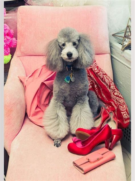french poodle cuts 189 best annie images on pinterest doggies poodles and