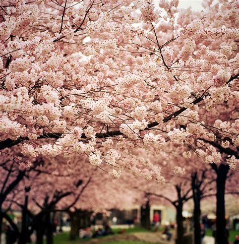 pictures of cherry blossom trees beautiful cherry blossoms around the world great