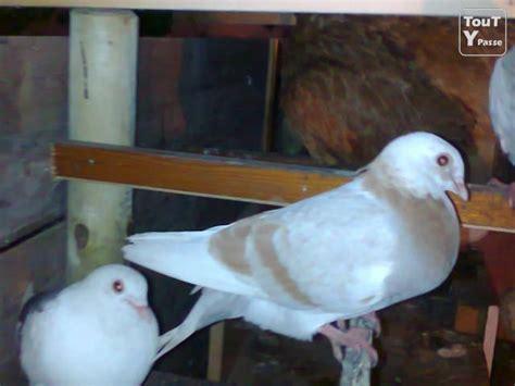 Pigeon 2 Pa tr 233 s bon pigeon et colombe de qualiter a ne pa rater bruxelles 1000 toutypasse be